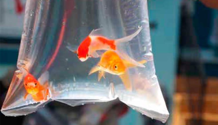 O descarte irregular de peixes ornamentais
