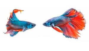 Peixes que não podem viver juntos no aquário