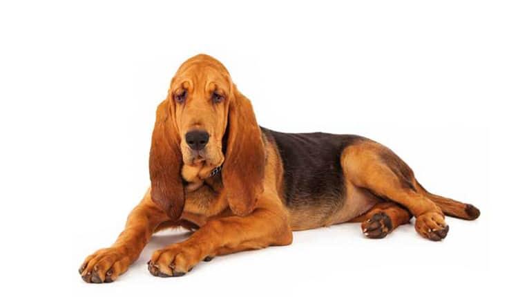 Cão de Santo Humberto