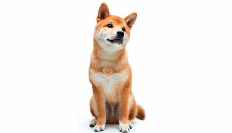 Shiba – A raposa de casa