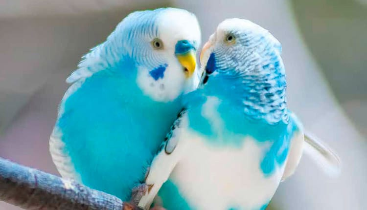 Aves ornamentais - Um mercado lucrativo e promissor