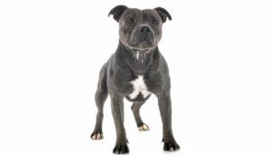 Staffordshire Bull Terrier - Inteligente e afetuoso