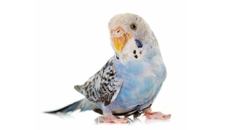 Aves pet - Intoxicação após uso abusivo de medicamentos e vitaminas